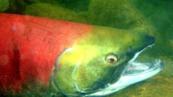 Fish Farms Blamed For Salmon Virus By B.C.