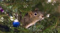 Cet adorable écureuil a élu domicile dans un sapin de Noël