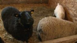 Un refuge pour animaux de ferme dans la Mitis