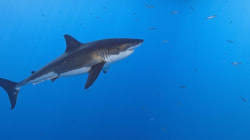 Great Whites And Schools of Sharks Spotted Off New South Wales