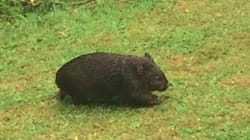 This is Australia's Second Wettest Wombat, And He Really Wants To Come