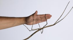 Giant Stick Insect Babies In World-First Captive Breeding