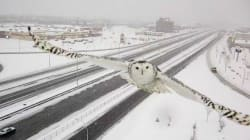 Look HOO Made A Stunning Appearance On Quebec Traffic