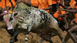Jallikattu, Bull Races And What Makes A Man Sexy To
