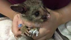 Possums, Joeys, Galahs: The Wildlife Fighting For Life After Yarloop