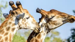Giraffes At Risk Of