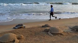 Over 150 Olive Ridley Turtles Found Dead On Puri