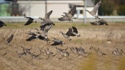絶滅危機の渡り鳥シジュウカラガンが復活、そっくりのカナダガンは消えた