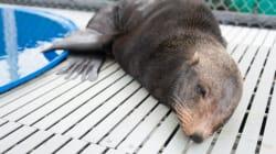 Animals Rescued By Vancouver Aquarium Were Forced North By El Nino: