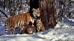 野生復帰したシベリアトラが、2頭の仔トラの母親に