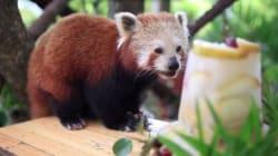 Cute Red Panda Won't Stop Being