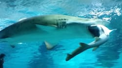 Shark Eats Shark In South Korean 'Turf