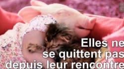 Cette amitié entre un chaton et un bébé cochon va vous faire