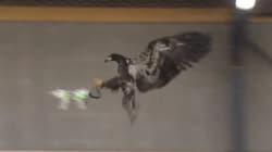 Des aigles chasseurs de
