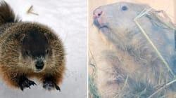 Canada's Groundhogs Make Clashing Weather