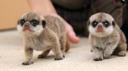 Meerkat Gives Birth To Pups At Taronga Zoo And They Are Super