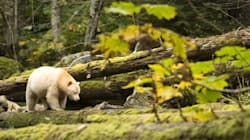 Logging Ban Saves The Great Bear Rainforest For Future