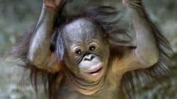 Un singe du zoo de l'Utah prédit la victoire des Panthers au Super