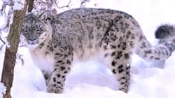Snow Leopard DNA Found In Chinese Medicines Bought In Aussie