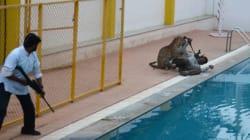 En Inde, un léopard s'introduit dans une école et blesse 5