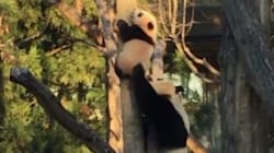 WATCH: Adventurous Panda Cub Needs Mum's Help Getting Down From