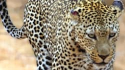 2 Days After Leopard Attack, Bengaluru Residents Spot Another One Near Same