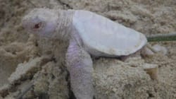Extremely Rare Albino Sea Turtle Hatches On Australian