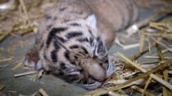 'Adorable' Can't Even Begin To Describe These Sumatran Tiger