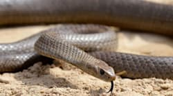 Six-Year-Old Girl Dies After Brown Snake