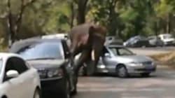 La femmina gli dice no, l'elefante distrugge 20