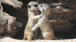 We Have More Pictures Of Cute Meerkats And We're Not Sorry About