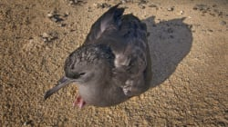 Seabirds With 'Stomachs Full Of Plastic' And Wine Corks Are Starving To