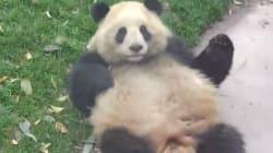 Ce panda fait trois roulades