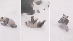 Ce panda géant aime vraiment la neige