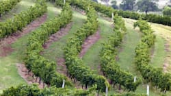 Sauvignon Blanc, Riesling 'At Risk' From Climate