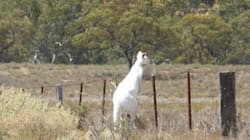 This Albino Kangaroo Hanging In A Paddock Has More Chill Than