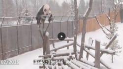 Questo panda vi farà venire voglia di divertirvi come