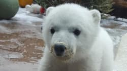 Hey Canada, Say Hello To Little Juno The Polar