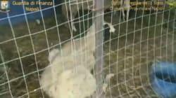 Zoo abusivo con lama, dromedari e tartarughe