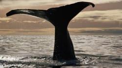 クジラ遺骸が化学合成生物群集を分散