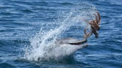 Dolphin Chooses World's Unluckiest Octopus As A