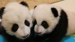 Canada's First Panda Cubs Get Very Canadian