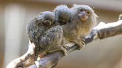 The World's Smallest Monkey Babies Are Just A Little Bit