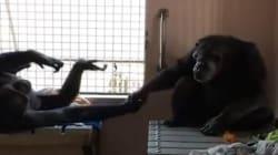 Après 18 ans de solitude, ce chimpanzé ne veut pas lâcher la main de sa nouvelle
