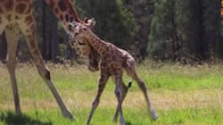 Adorable Baby Giraffe Can't Quite Get The Hang Of This Standing Up