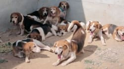 These 64 Beagles Leaving A Lab For Loving Homes Will Melt Your