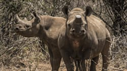 African Rhinos May Be Extinct In 10 Years Or Less, Experts