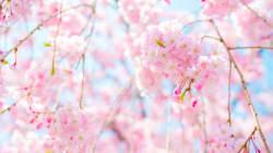 3連休に桜が開花 日本気象協会が発表