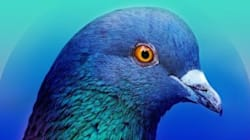 À Londres, des pigeons sont chargés de mesurer la qualité de