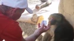 La réaction de ce babouin face à un tour de magie est